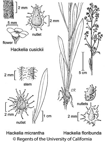 botanical illustration including Hackelia floribunda