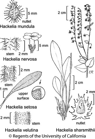 botanical illustration including Hackelia velutina