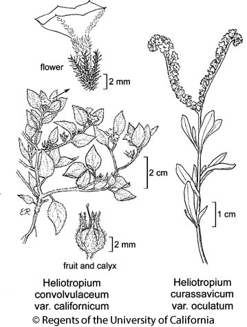 botanical illustration including Heliotropium convolvulaceum var. californicum