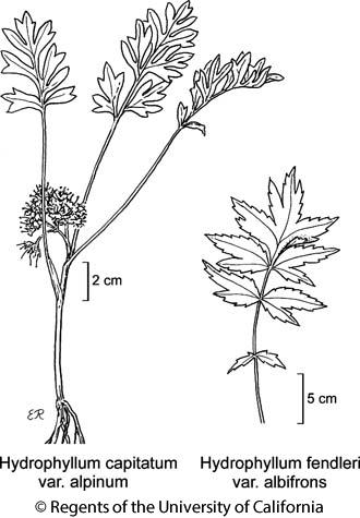 botanical illustration including Hydrophyllum fendleri var. albifrons