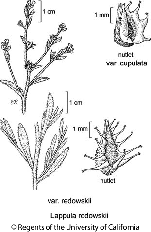 botanical illustration including Lappula redowskii var. cupulata
