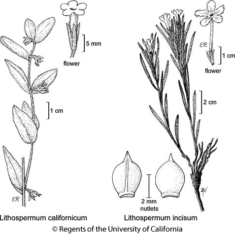 botanical illustration including Lithospermum incisum