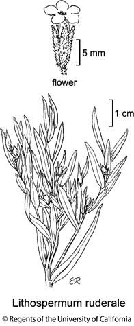 botanical illustration including Lithospermum ruderale