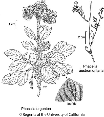 botanical illustration including Phacelia austromontana