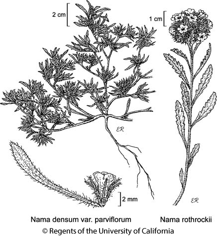 botanical illustration including Nama rothrockii