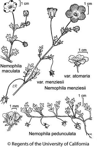 botanical illustration including Nemophila pedunculata