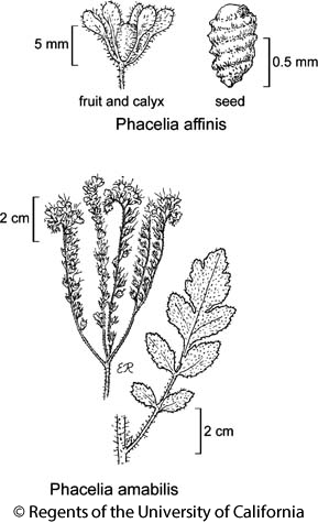 botanical illustration including Phacelia amabilis