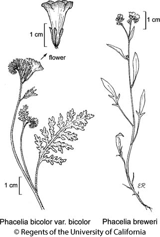 botanical illustration including Phacelia breweri