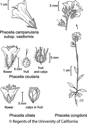 botanical illustration including Phacelia cicutaria