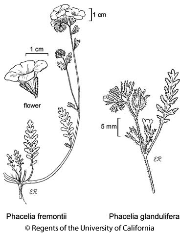 botanical illustration including Phacelia glandulifera