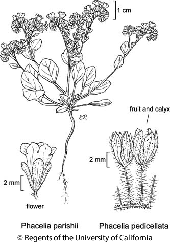 botanical illustration including Phacelia pedicellata