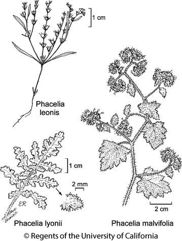 botanical illustration including Phacelia malvifolia