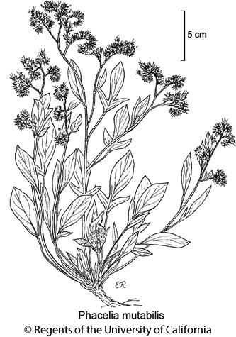 botanical illustration including Phacelia mutabilis