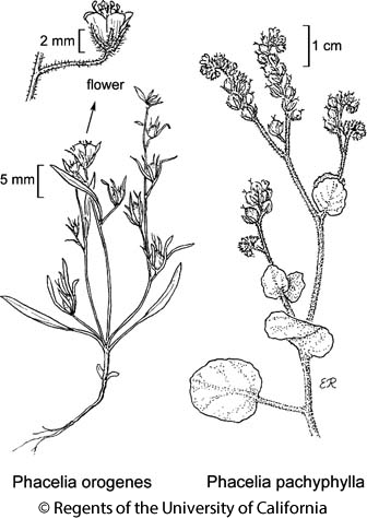 botanical illustration including Phacelia orogenes