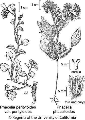 botanical illustration including Phacelia perityloides var. perityloides