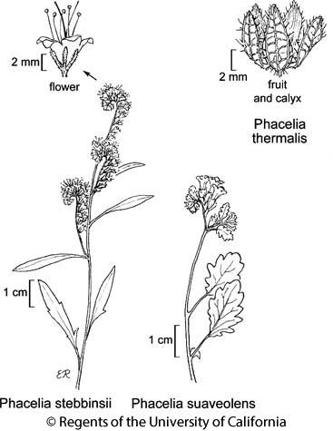 botanical illustration including Phacelia thermalis
