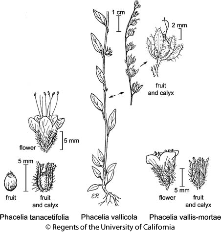 botanical illustration including Phacelia vallicola