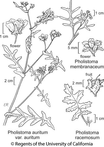 botanical illustration including Pholistoma membranaceum