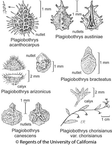 botanical illustration including Plagiobothrys bracteatus