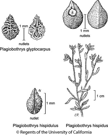 botanical illustration including Plagiobothrys hispidus