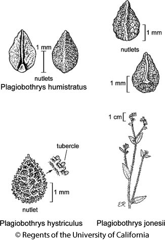 botanical illustration including Plagiobothrys humistratus