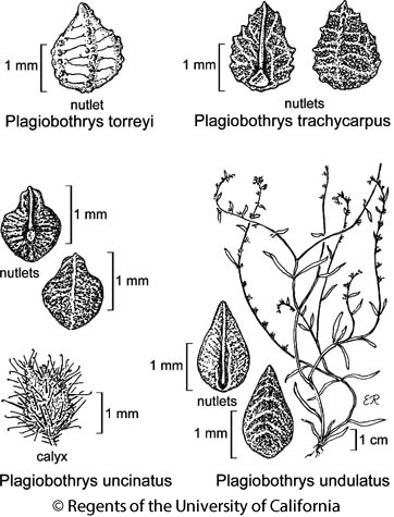 botanical illustration including Plagiobothrys torreyi