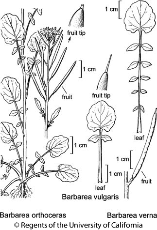 botanical illustration including Barbarea vulgaris