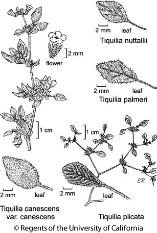 botanical illustration including Tiquilia canescens var. canescens
