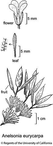 botanical illustration including Anelsonia eurycarpa