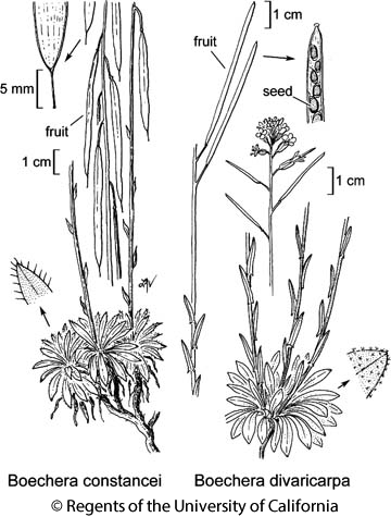 botanical illustration including Boechera constancei