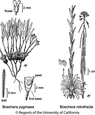 botanical illustration including Boechera pygmaea