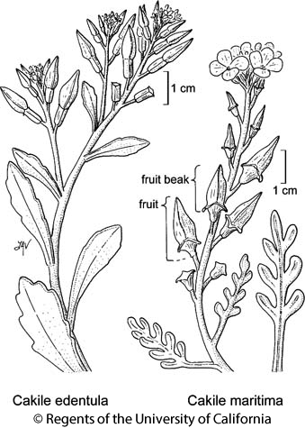 botanical illustration including Cakile edentula
