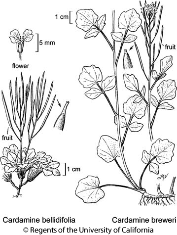 botanical illustration including Cardamine breweri