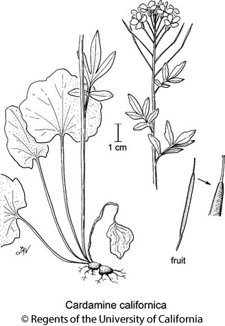 botanical illustration including Cardamine californica