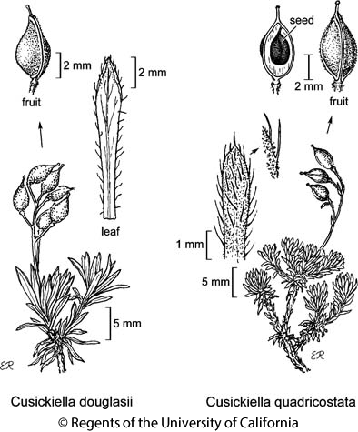 botanical illustration including Cusickiella quadricostata