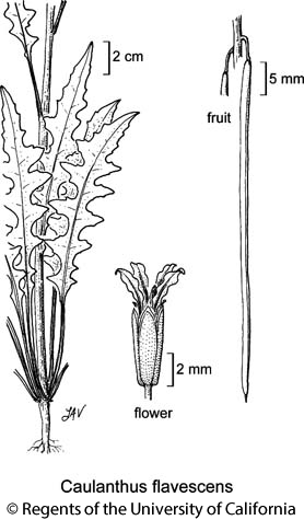 botanical illustration including Caulanthus flavescens