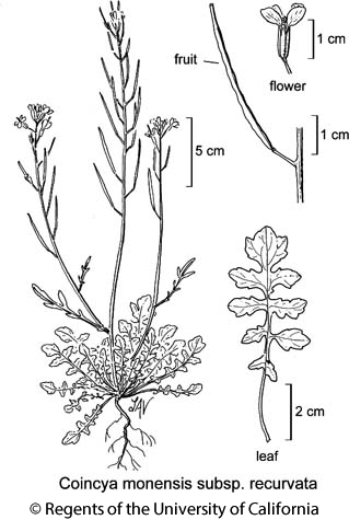 botanical illustration including Coincya monensis subsp. recurvata