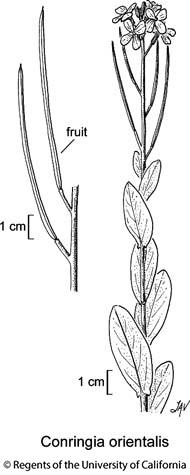 botanical illustration including Conringia orientalis