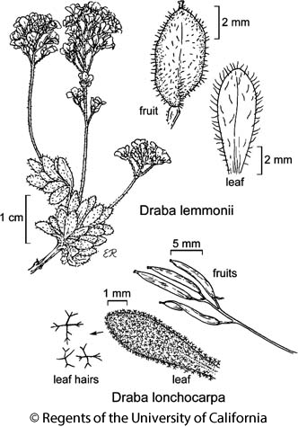 botanical illustration including Draba lonchocarpa