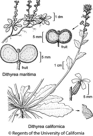 botanical illustration including Dithyrea maritima