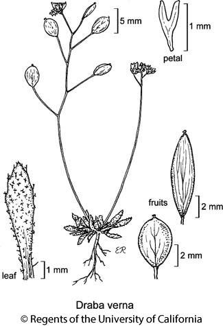 botanical illustration including Draba verna