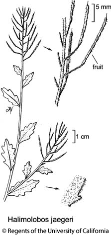 botanical illustration including Halimolobos jaegeri