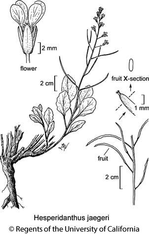 botanical illustration including Hesperidanthus jaegeri