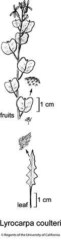 botanical illustration including Lyrocarpa coulteri