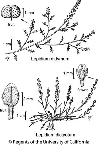 botanical illustration including Lepidium dictyotum