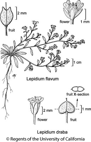 botanical illustration including Lepidium draba