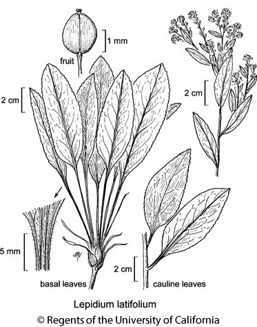 botanical illustration including Lepidium latifolium