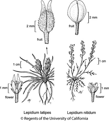 botanical illustration including Lepidium nitidum