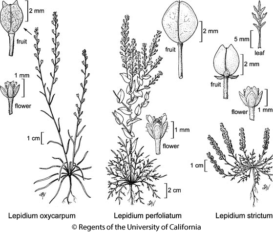 botanical illustration including Lepidium strictum