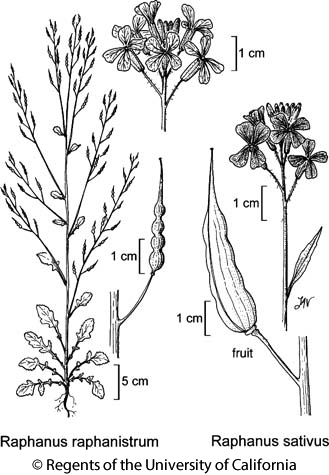botanical illustration including Raphanus sativus
